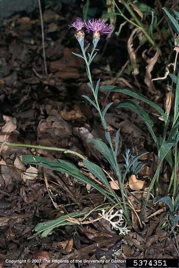 Tyrol Knapweed Full Plant Joseph M. DiTomaso, University of California - Davis, Bugwood.org