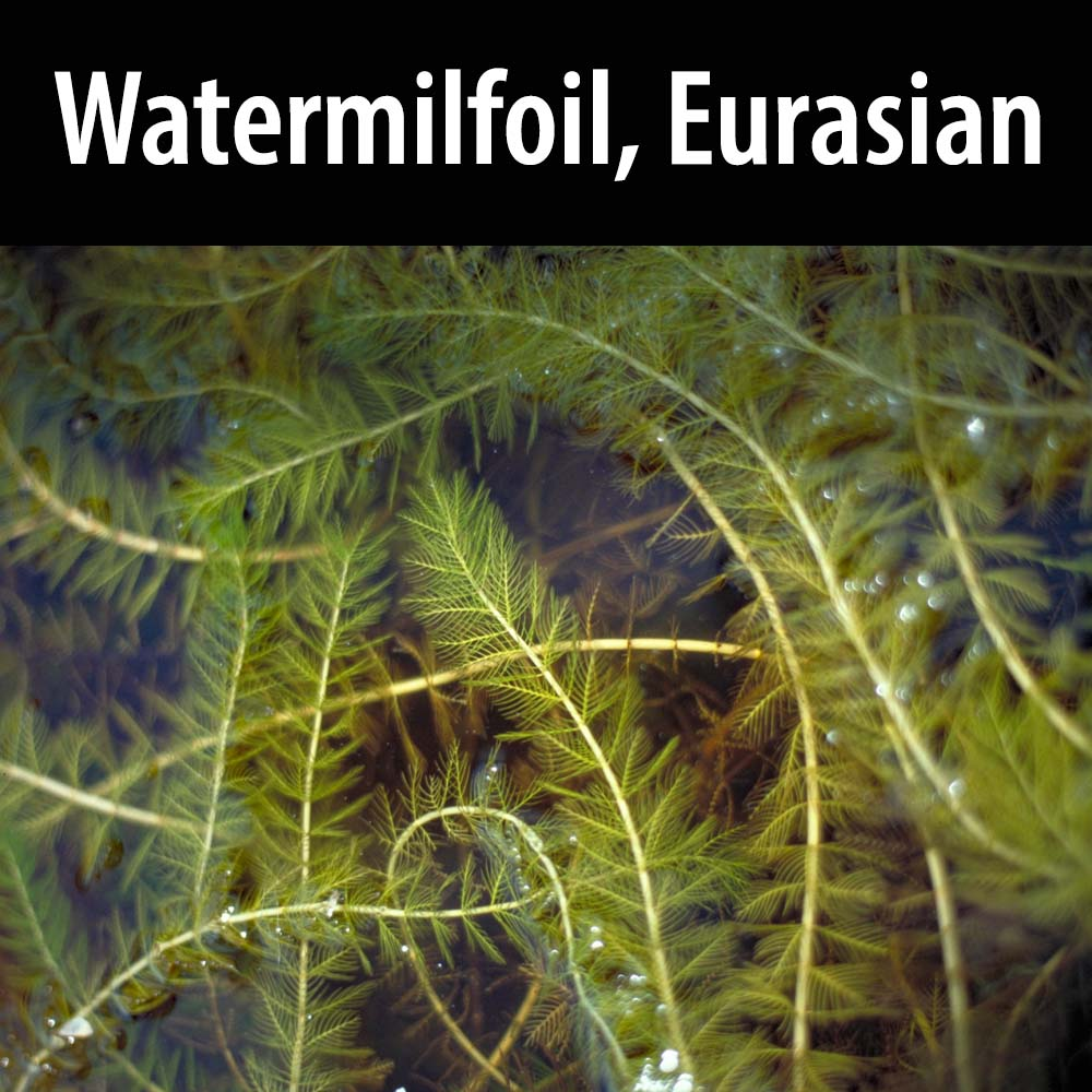 Watermilfoil Eurasian