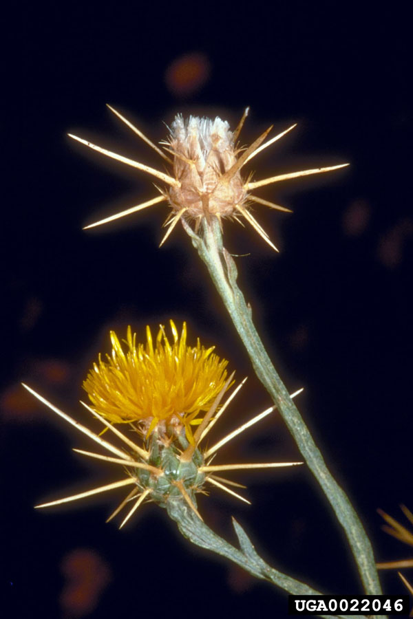 Yellow StarThistle Flower _ Seed Pod Charles Turner, USDA Agricultural Research Service, Bugwood.org