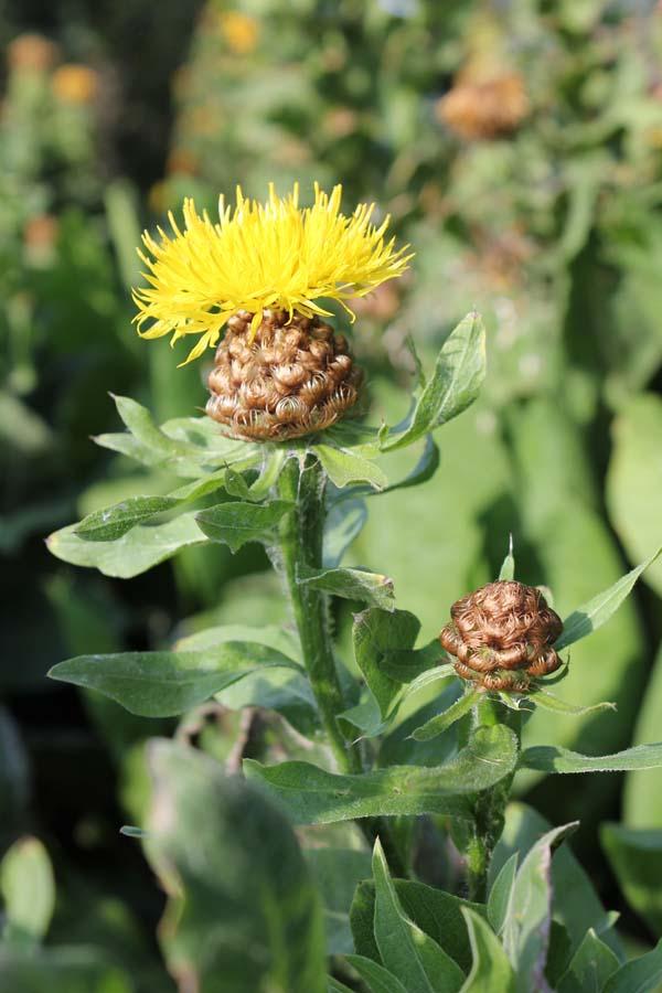 bighead-knapweed (2)