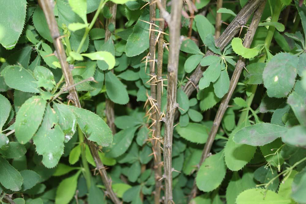 common barberry (4)