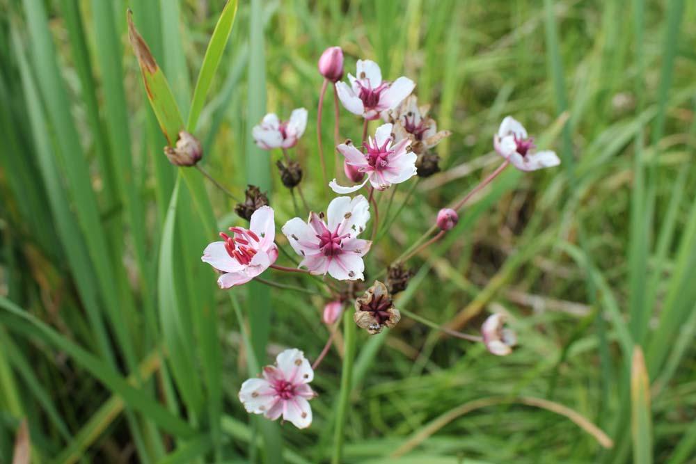 flowering rush (1)