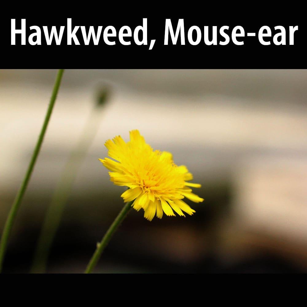hawkweed Mouse-ear