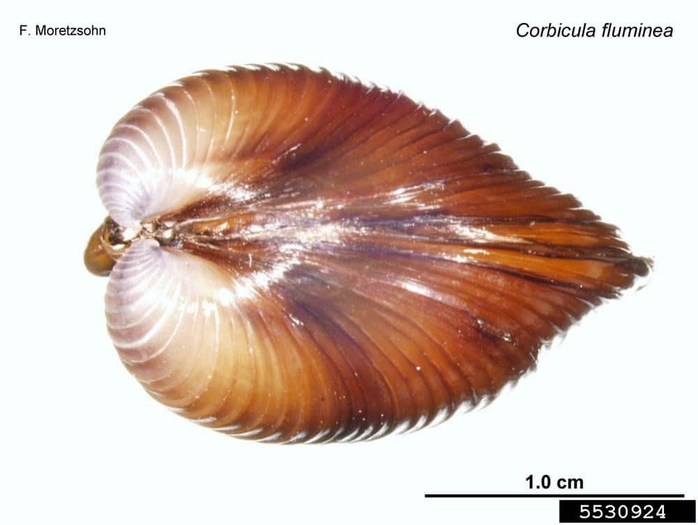 Asian clam (6)