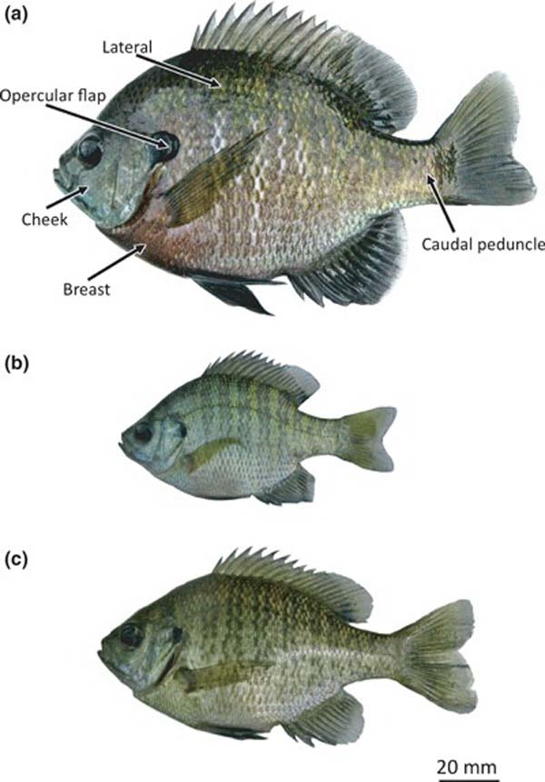 BlueGill Representative-photographs-of-bluegills-Lepomis-macrochirus-a-Parental