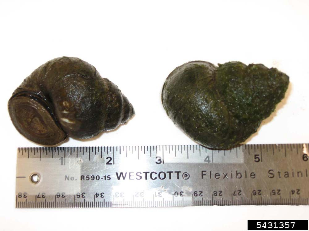 Chinese Mystery Snail (2)