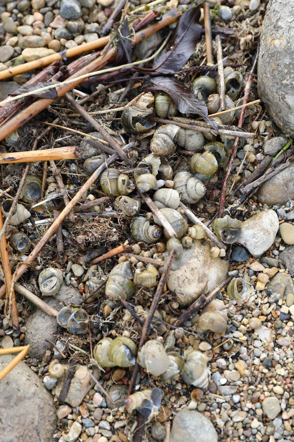 Chinese Mystery Snail Extent pile