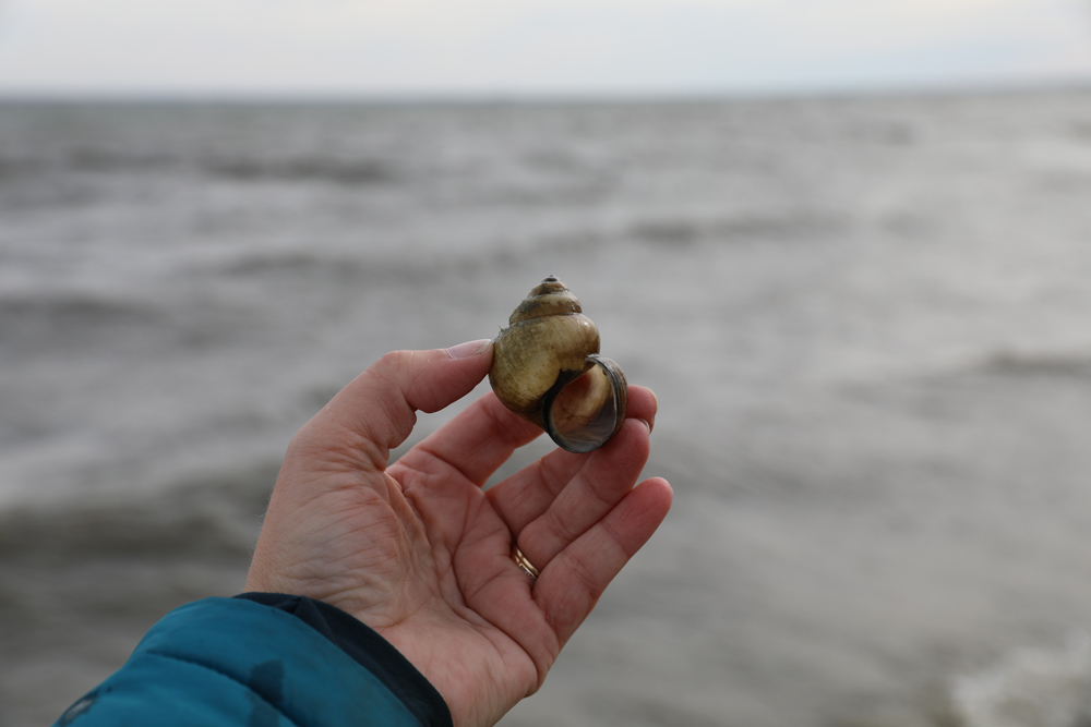Chinese Mystery Snail Hand holding labeled picture