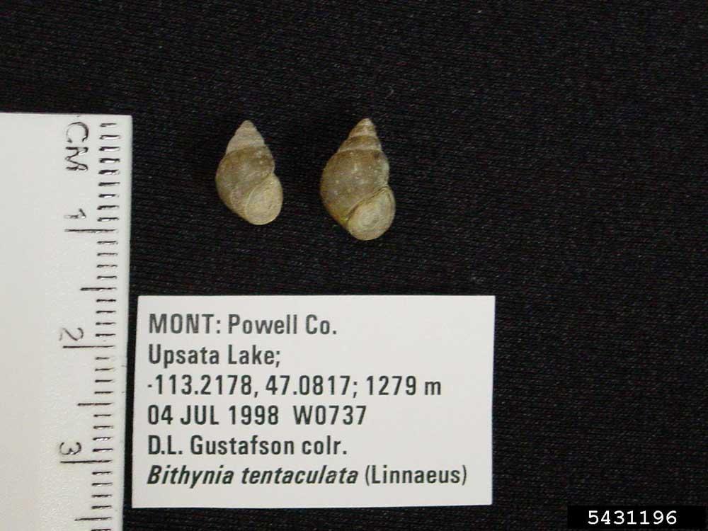 Faucet Snail 5431196 (1)