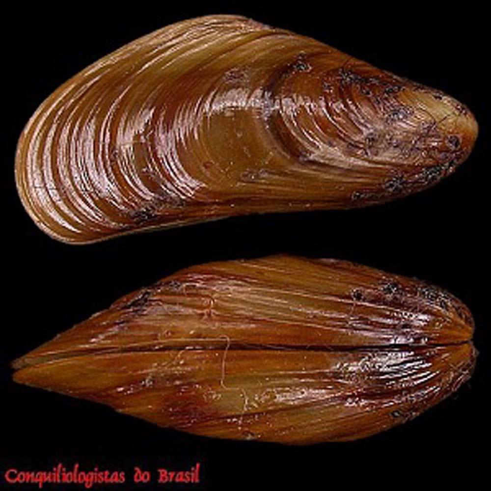 Golden Mussel Carlos Henckes