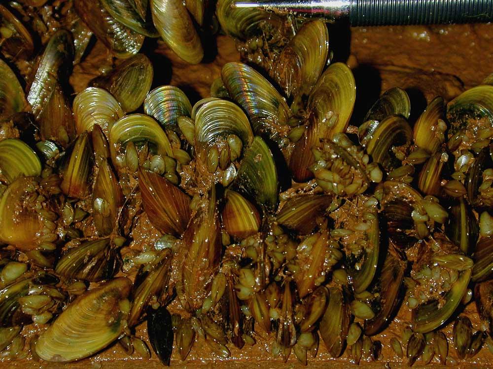Golden Mussel Limnoperna fortunei (golden mussel)