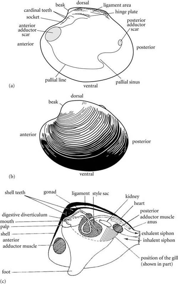 Golden Mussel bivalves_StudyBlue