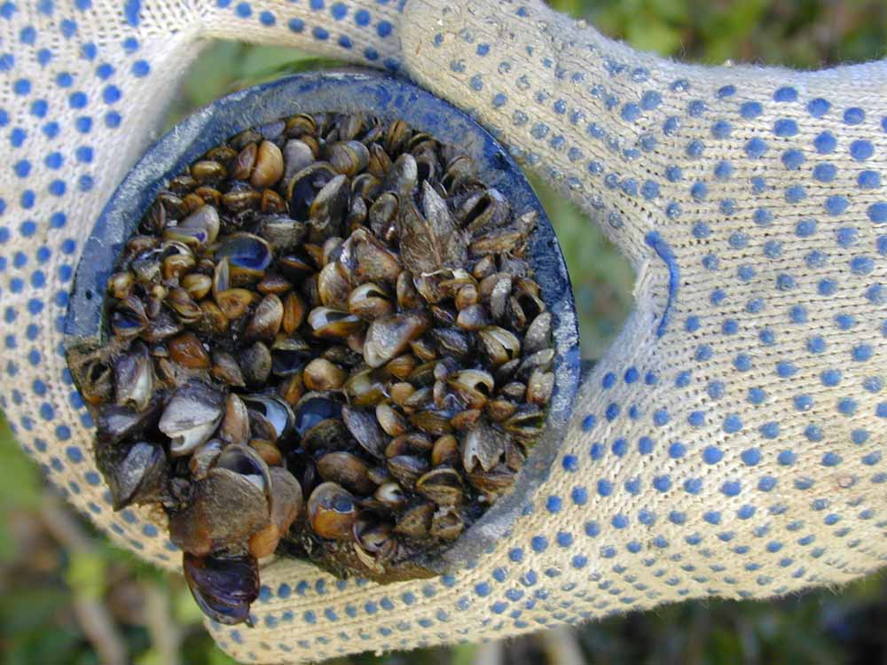Golden Mussel pipeline macrofouling