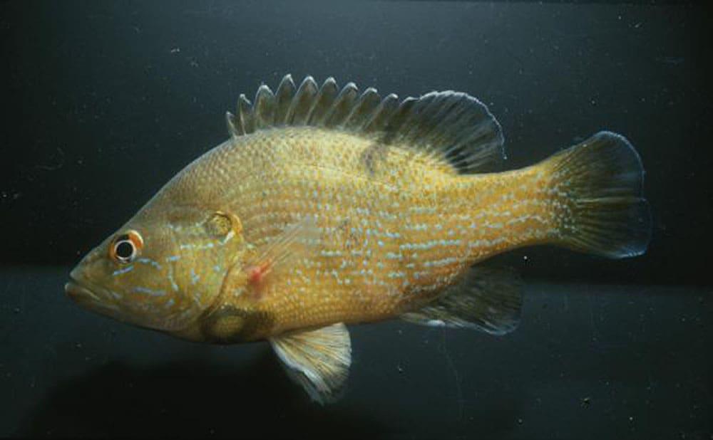 Green Sunfish2
