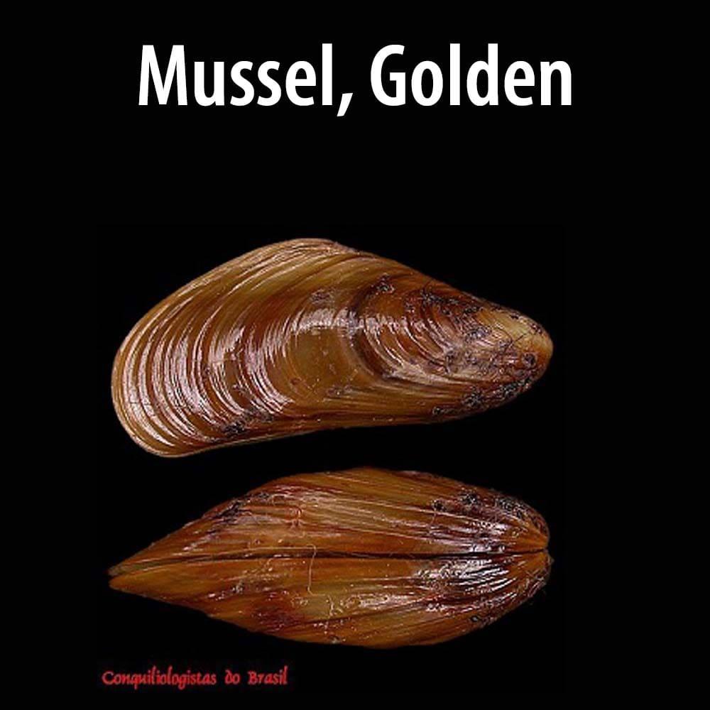 Mussel, Golden