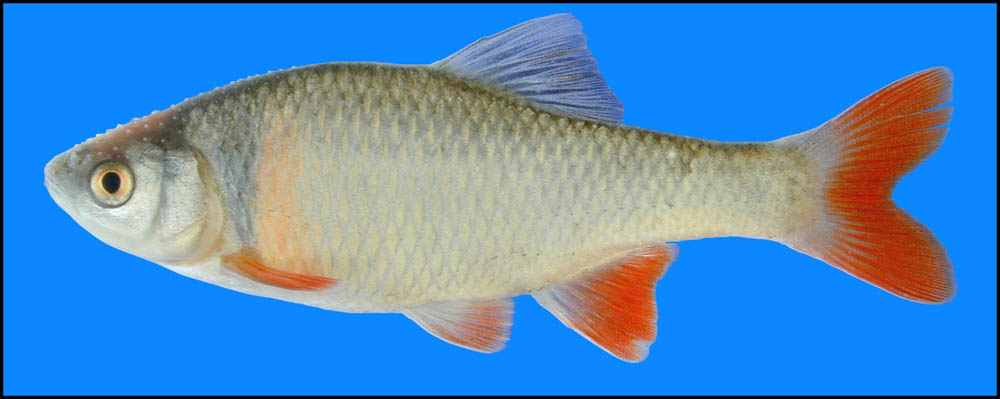 Red Shiner Male