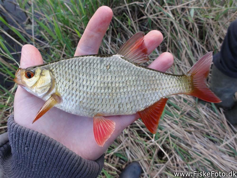 Rudd Common www.fiskefoto.dk
