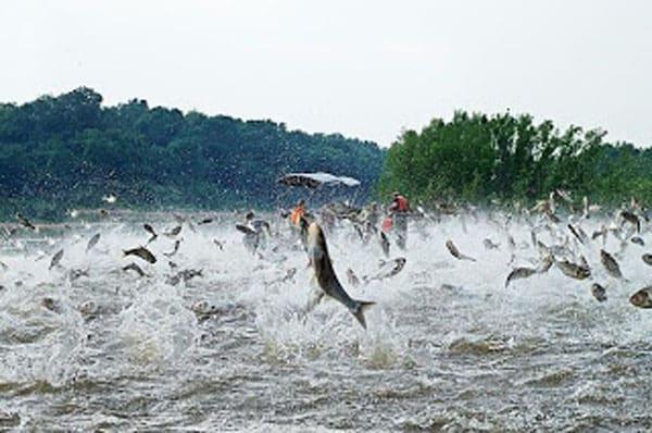 Silver Carp bigfishesoftheworld.blogspot.ca