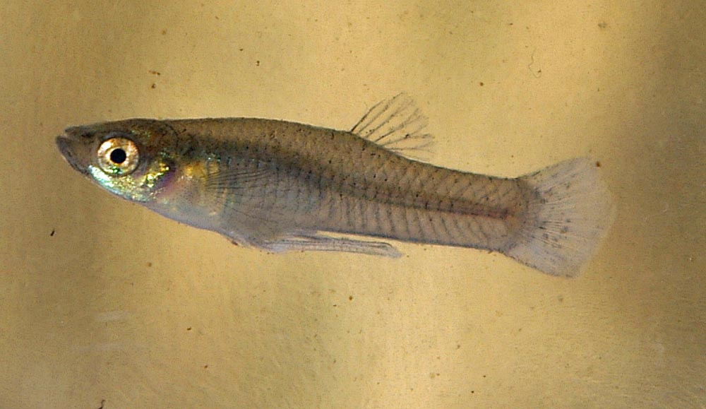 Western Mosquito Fish Male