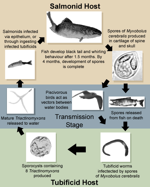 Whirling Disease LifeCycle(Myxobolus_cerebralis)