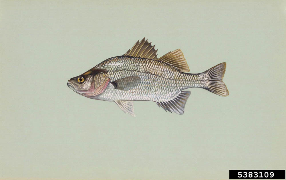 White Perch (1)