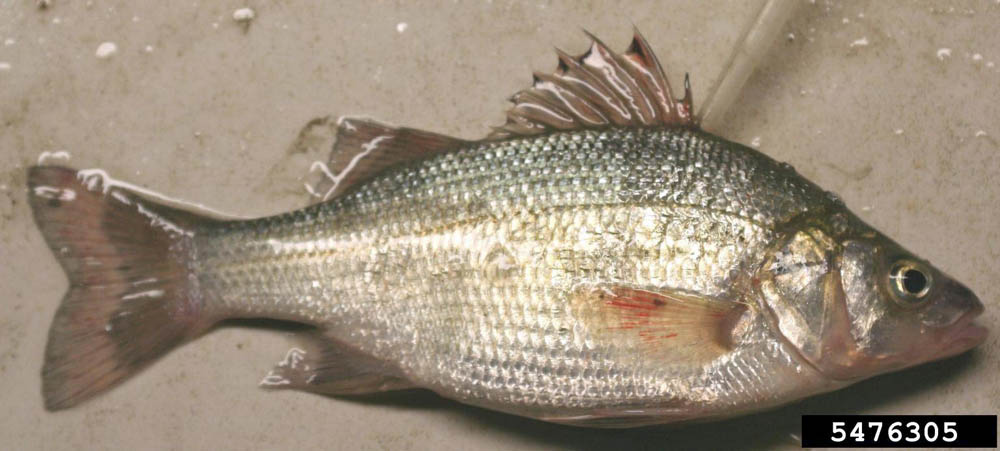 White Perch (2)