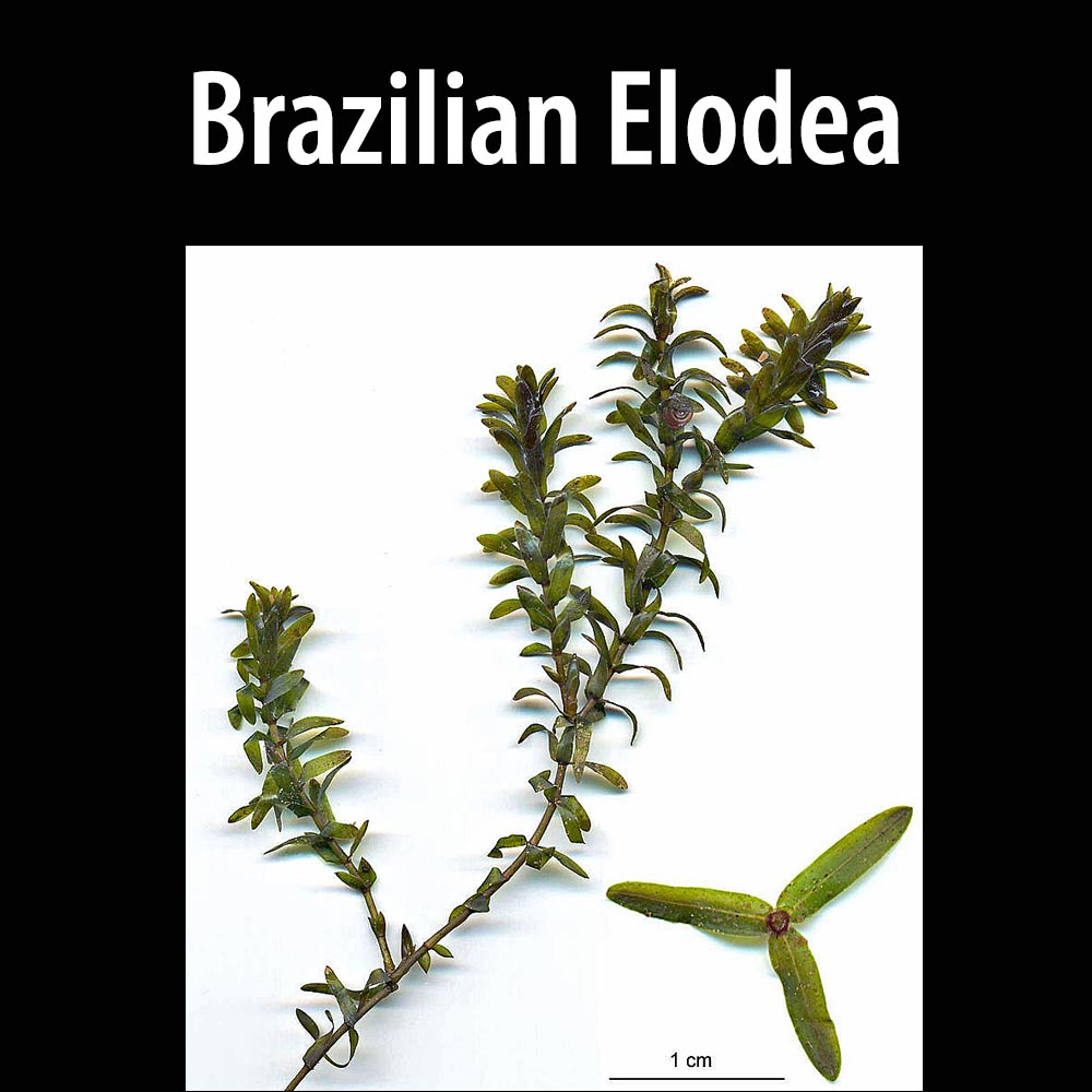 Brazilian Elodea-1