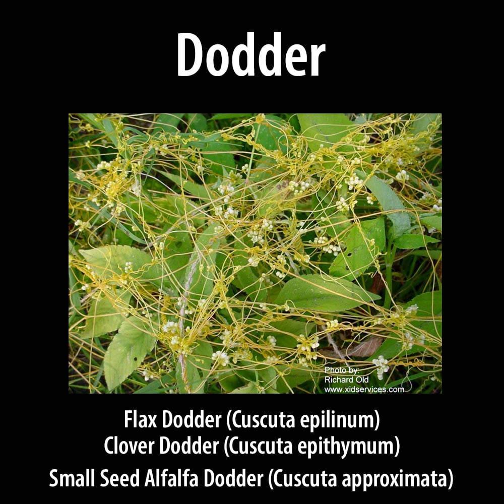 Dodder