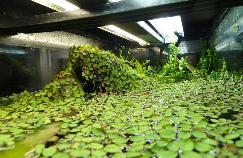 European Frog Bit aquariumbg.com_aquarium