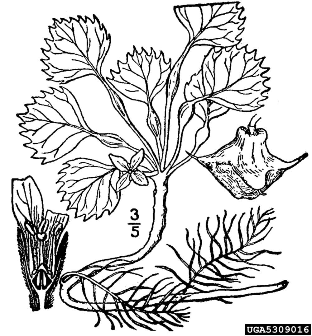 uropean Water Chestnut (3)
