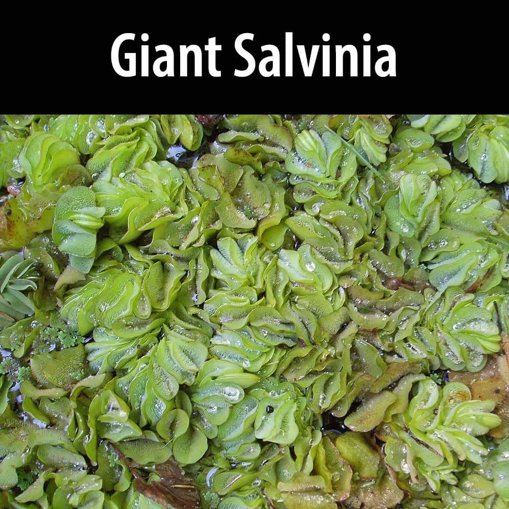 Giant Salvinia