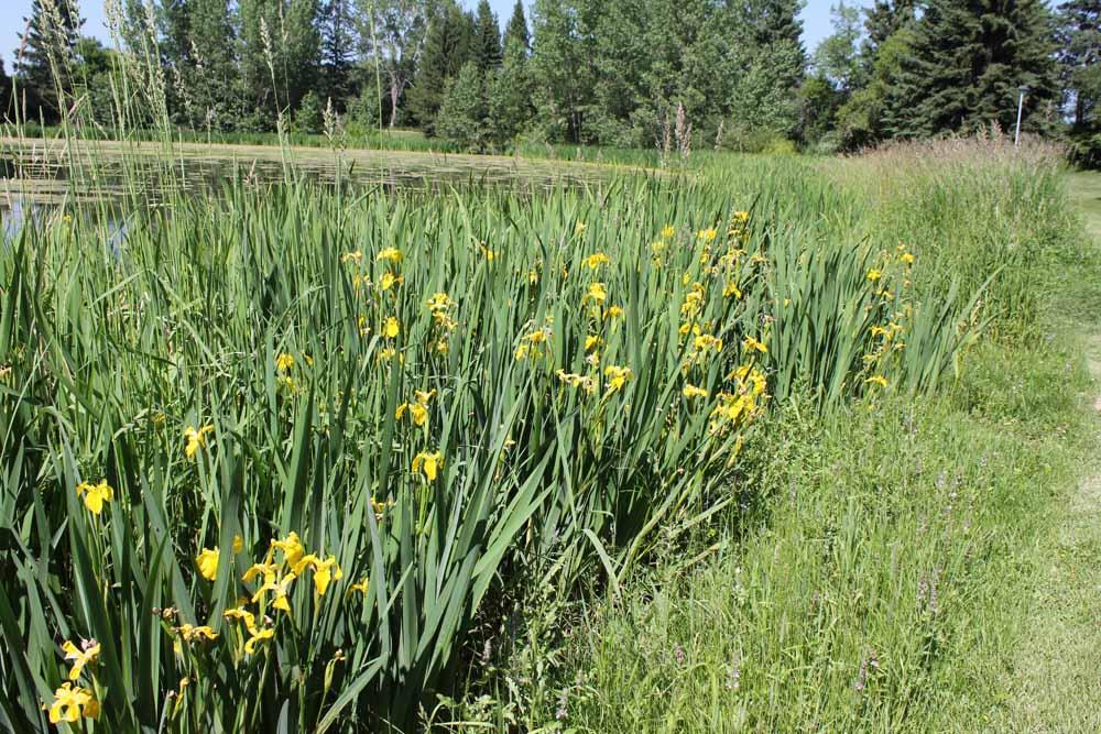 Pale Yellow Iris P