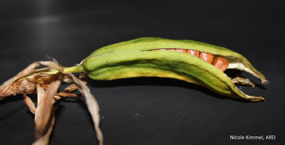 Pale Yellow Iris seed pod