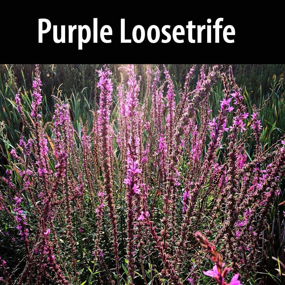 Purple Loosetrife