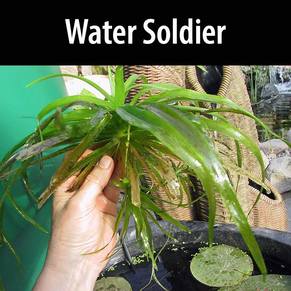 Water Soldier