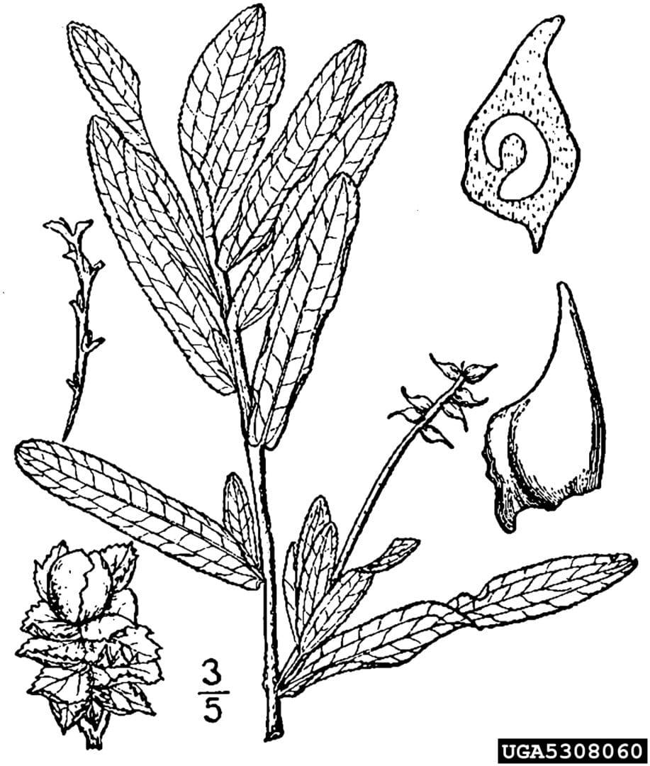 curly leaf pondweed (4)