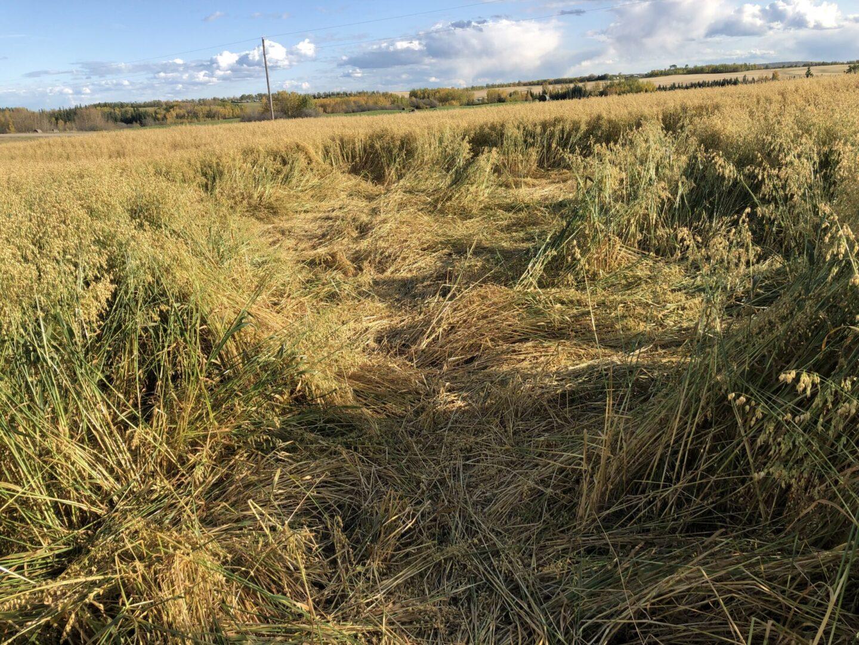 Oat field with wild boar damage
