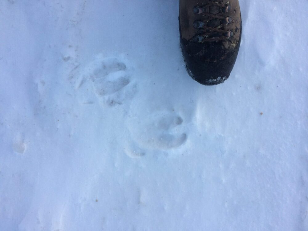 Tracks large,_rounder shape_than_deer, Pronounced_splayed_dew_claw