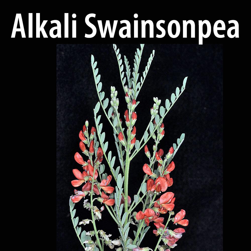 Alkali swainsonpea