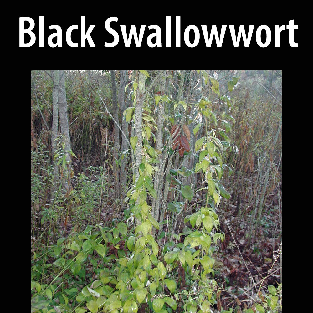 Black swallowwort
