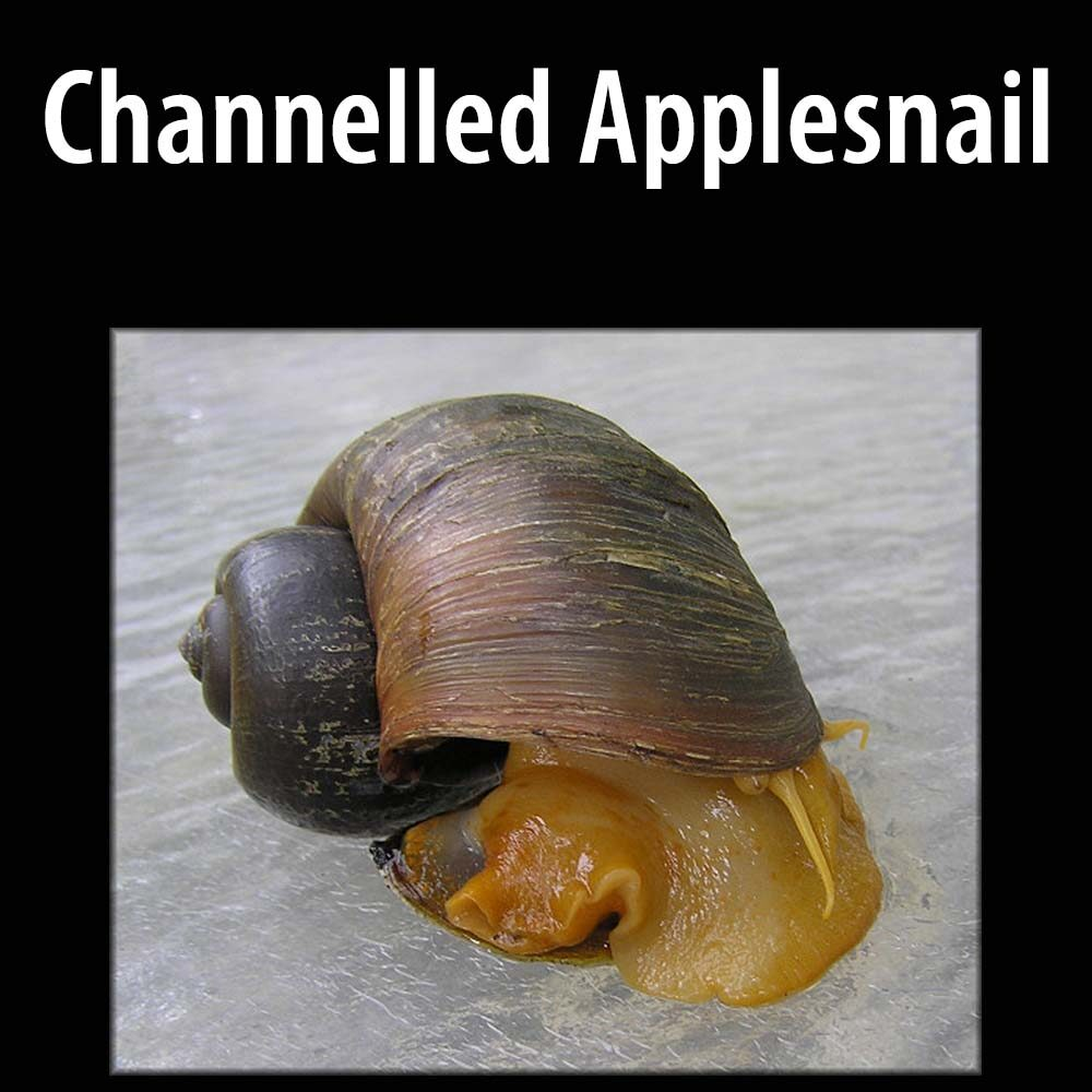 Channelled Applesnail