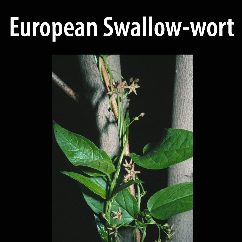 European swallow-wort