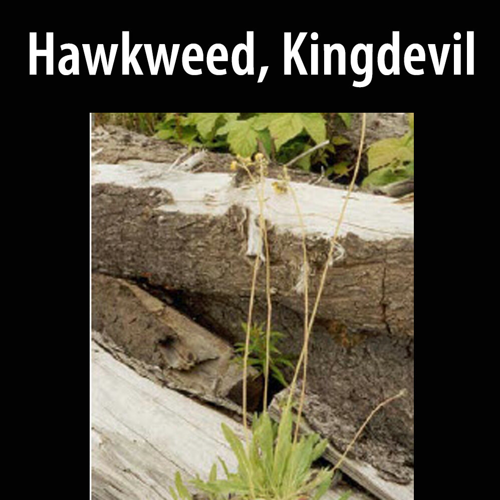 Hawkweed, Kingdevil