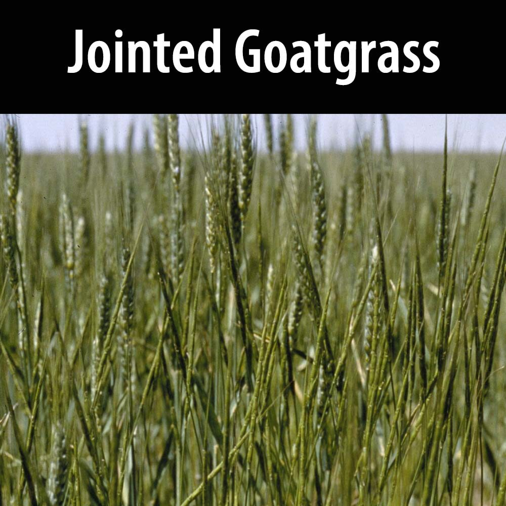 Jointed Goatgrass