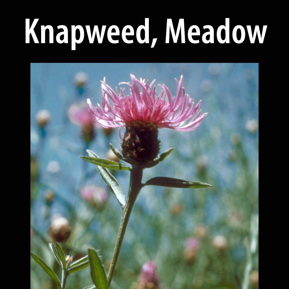 Knapweed, Meadow