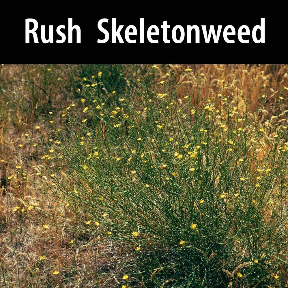 Rush, skeletonweed.-1