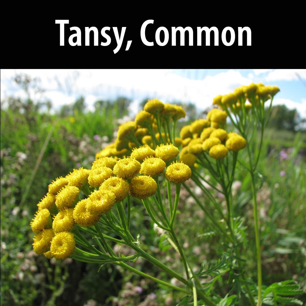 Tansy, Common