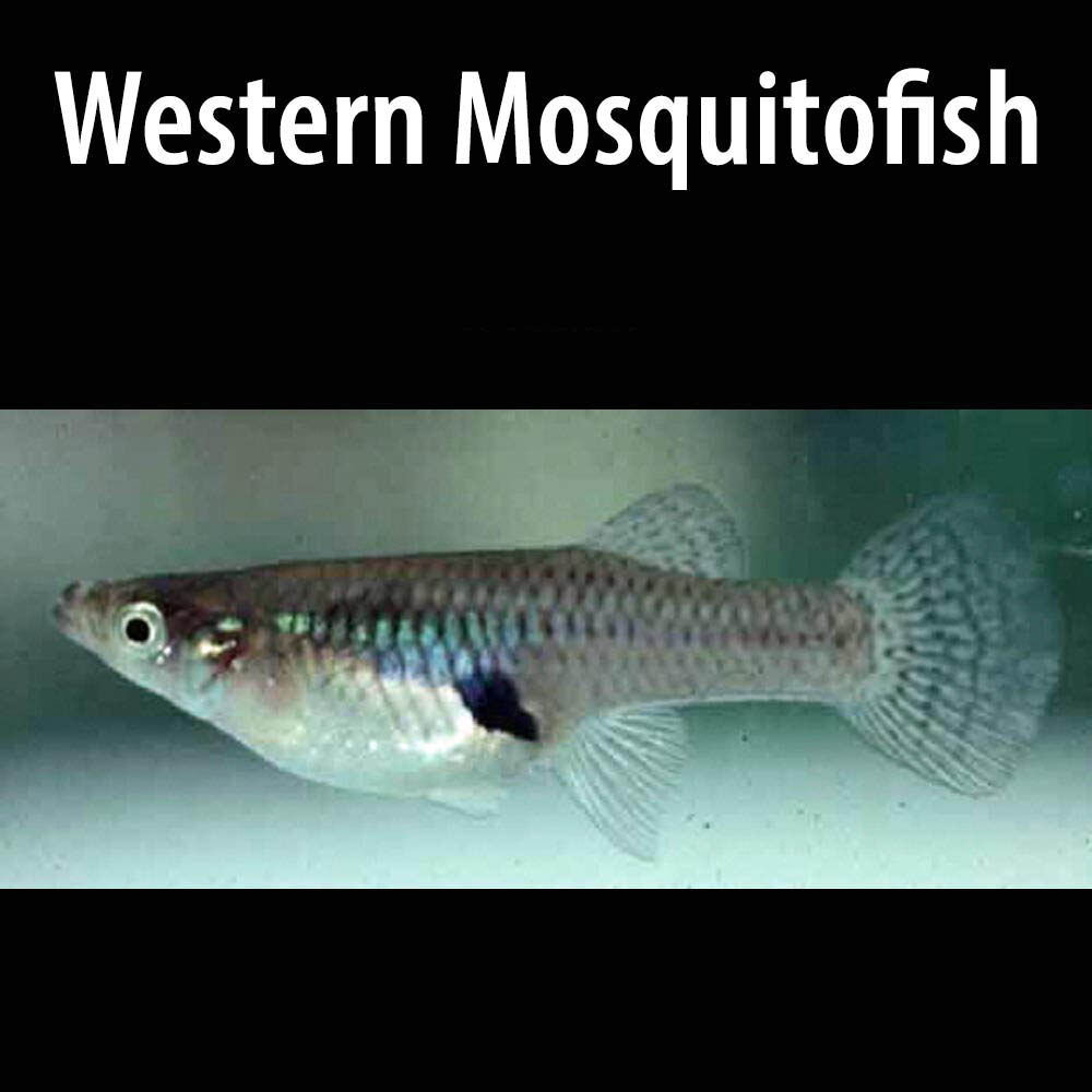 Western Mosquito Fish-1