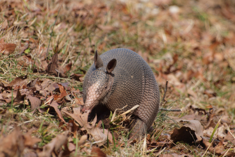 Conspecific scent improves capture rates for nine-banded armadillos