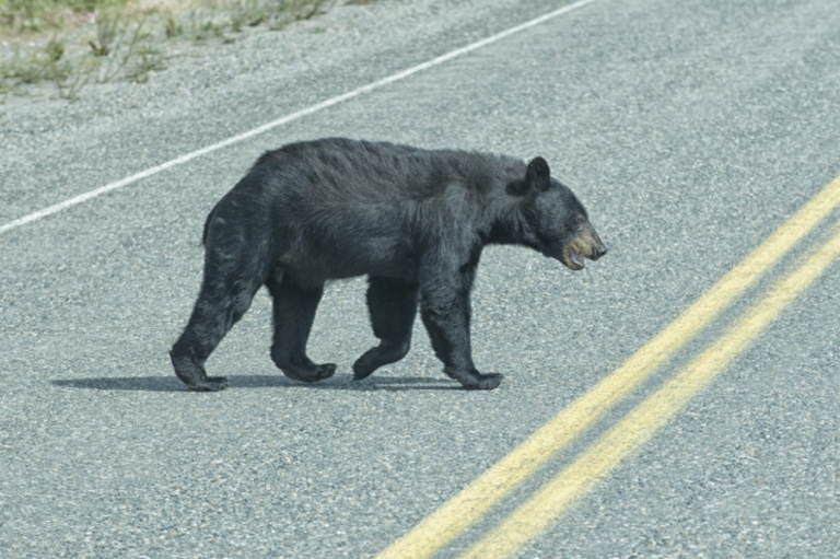 Source populations and roads affect American black bear recolonization